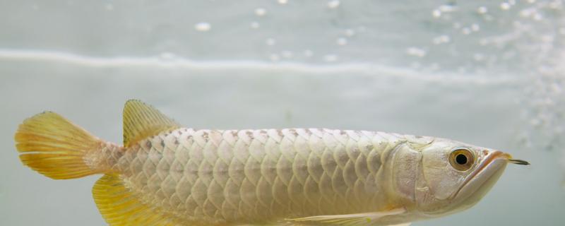 长期水温在30度养龙鱼好不好,怎么饲养好