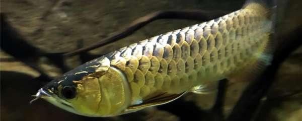 龙鱼受到惊吓多久恢复,怎么预防龙鱼受惊