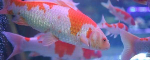 怎么区分锦鲤和金鱼,可以混养吗