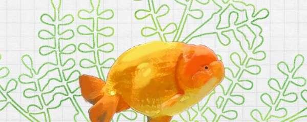 兰寿金鱼喜欢什么水质,喜欢什么食物