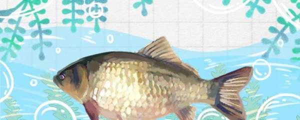 黑坑工程鲫鱼喜欢什么味型,用什么饵料