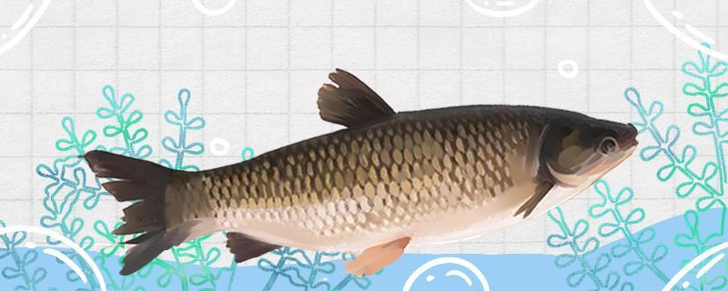 六月钓草鱼深水还是浅水,用什么饵料
