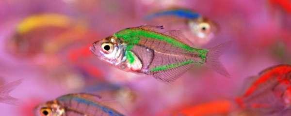 玻璃拉拉鱼是染色的吗,会影响寿命吗