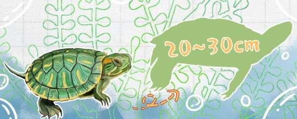 20年的巴西龟有多大,能活多久