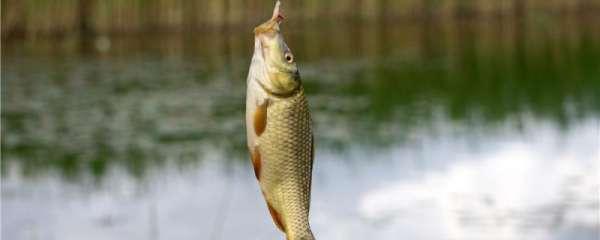 夏天钓鲫鱼钓远还是钓近,钓深还是钓浅