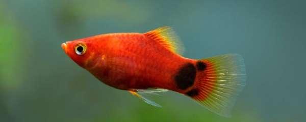 米奇鱼吃什么鱼食,什么时间喂