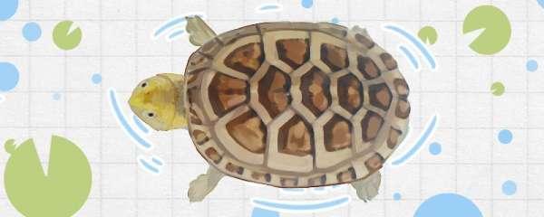 白唇泥龟能长多大,怎么养合适