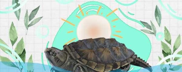 佛鳄龟怎么培养大头,怎么养头刺