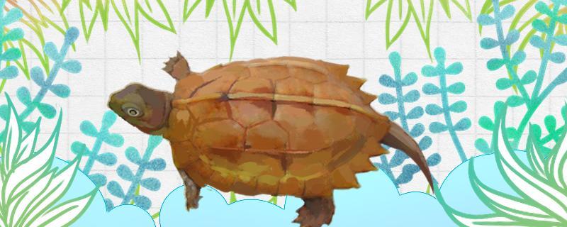 枫叶龟可以水养吗,多久喂一次