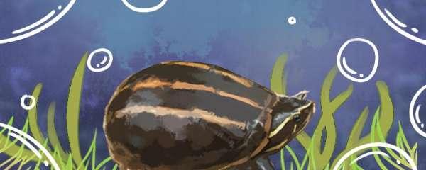 果核龟什么环境养,吃什么