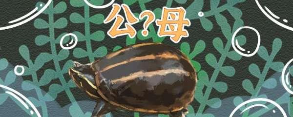 果核龟苗怎么看品相,怎么看公母