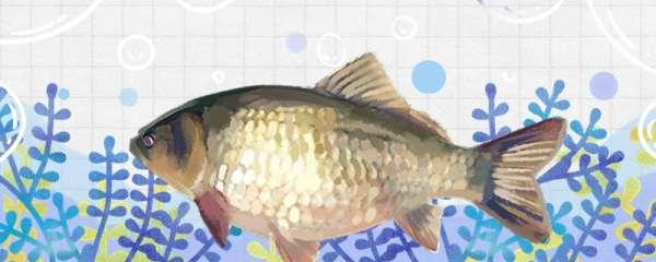 夏季野钓鲫鱼饵料搭配,钓深水还是浅水