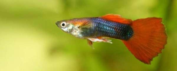刚出生的小凤尾鱼怎么养殖,如何喂食