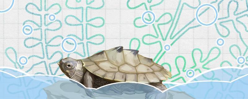 地图龟可以放鱼缸里养吗,可以跟什么鱼一起养