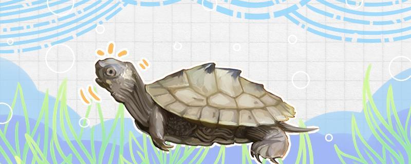 地图龟喜欢晒太阳吗,需要晒背灯吗