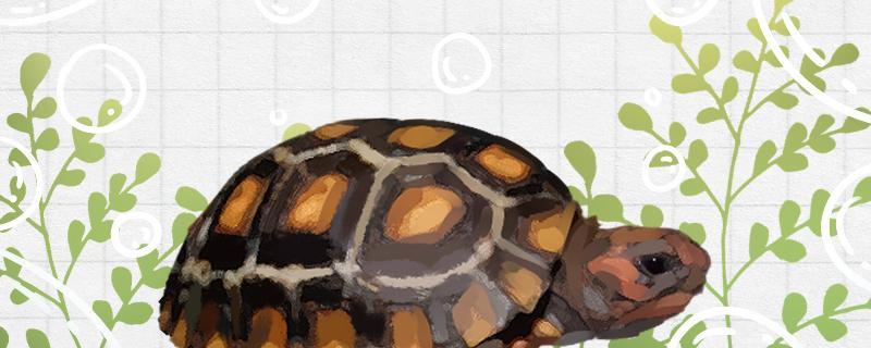 养樱桃红腿陆龟犯法吗,养什么龟不犯法