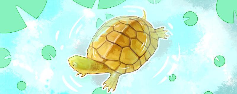 黄喉拟水龟和草龟能一起养吗,还能和什么龟一起养