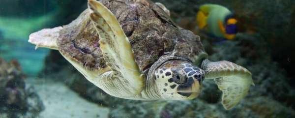 海龟能长到多大,能活多久