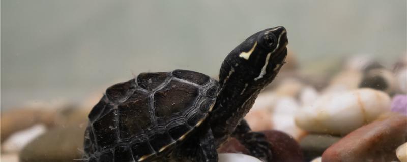 麝香龟属于深水龟还是半水龟,可以在深水中养吗