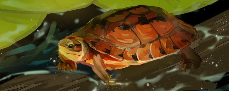 金钱龟一年能长多大,能活多久