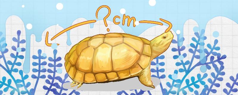 石金钱龟成年有多大,能活多久