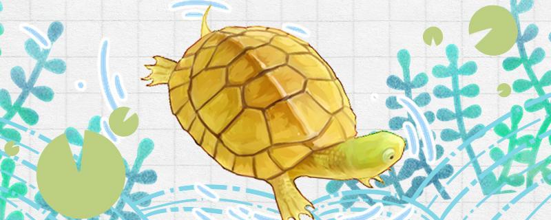 石金钱龟是水龟还是半水龟,水位多高合适