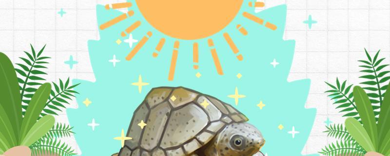 养剃刀龟需要注意什么,怎么养胆子大