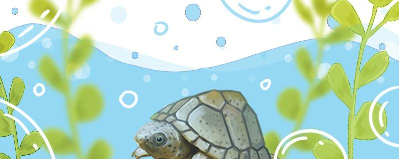 剃刀龟6厘米可以看出公母吗,怎么看公母