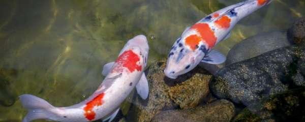 室内假山鱼池养什么鱼,鱼池怎么养鱼