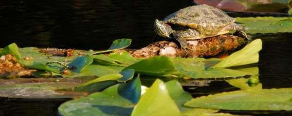 乌龟从一米多高摔下来会死吗,摔破壳流血怎么办