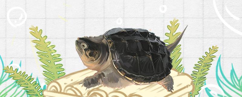 鳄鱼龟和鳄龟一样吗,大鳄龟和小鳄龟一样吗