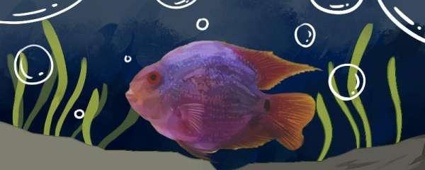 鹦鹉鱼的水温多少度好,加热温度保持在多少合适