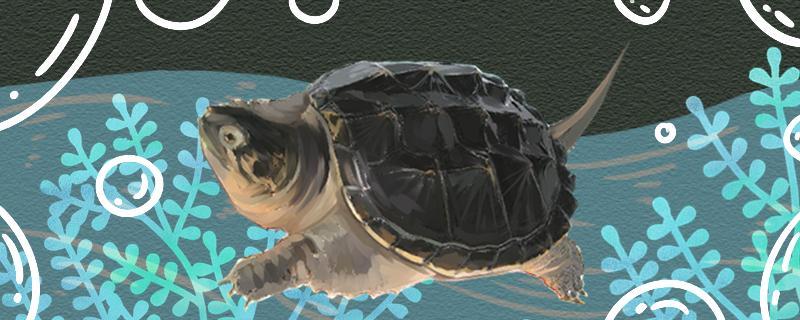 鳄龟怎么分辨品种,不同品种能在一起养吗