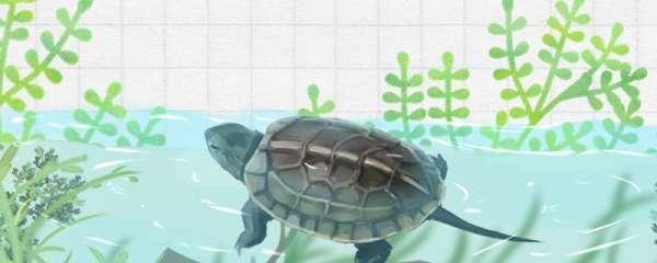 草龟不脱壳是怎么回事,什么时候才会脱壳