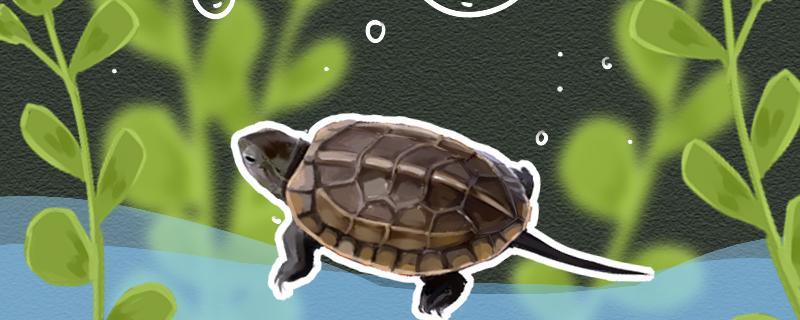 草龟长大要多久,能长多大