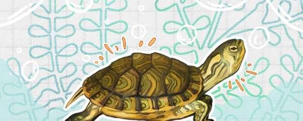 黄耳龟属于巴西龟吗,能一起养吗