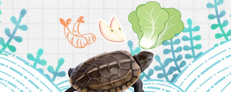 草龟吃什么水果,还吃什么食物