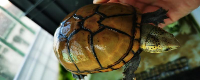 头盔龟苗怎么养,怎么喂食