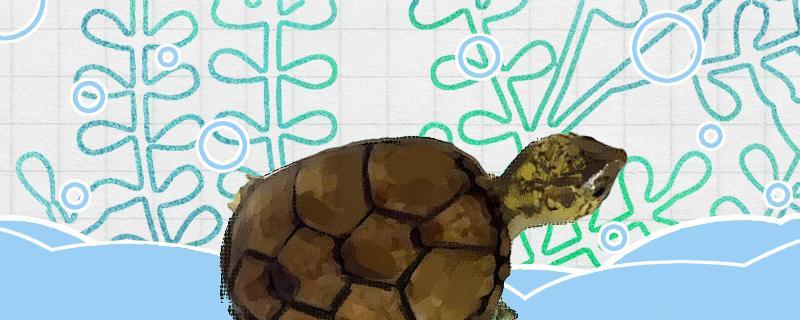 头盔泥龟用什么环境养?怎样养
