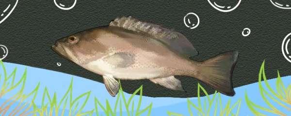 石斑鱼喜欢吃什么饵料,喜欢生活在什么地方