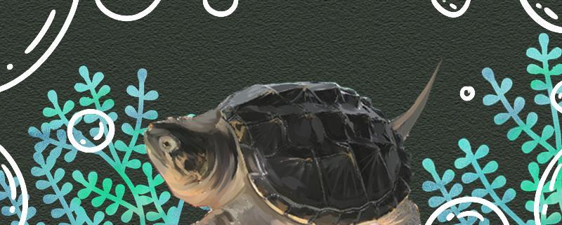 鳄龟最大能长多重,能活多久