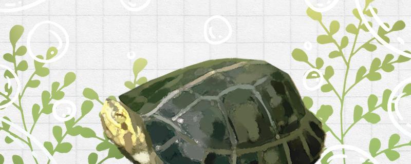 黄头龟吃什么食物比较好,多长时间喂一次好