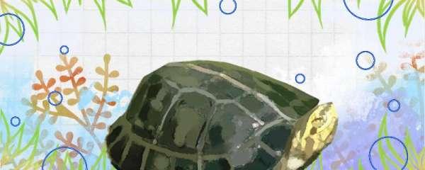 黄头龟寿命多长时间,体型有多大