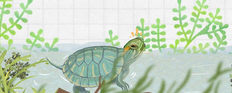 巴西龟的壳变白是咋了,怎么变回来