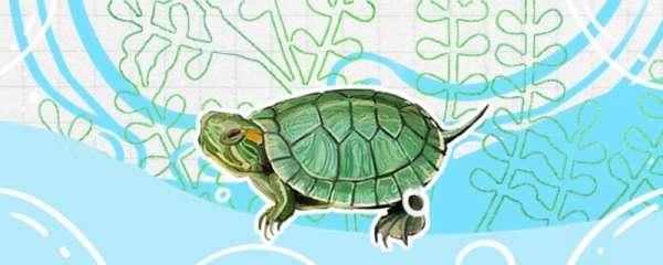 幼年巴西红耳龟怎么分雌雄,雌雄能一起养吗
