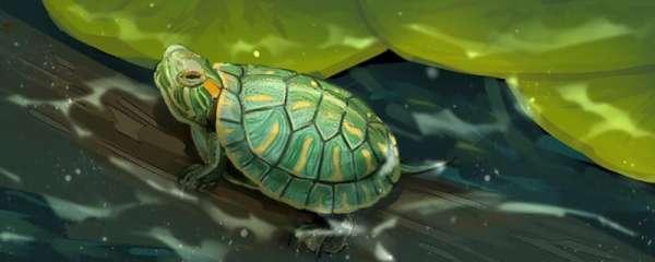 巴西龟脱壳前兆,脱壳注意事项