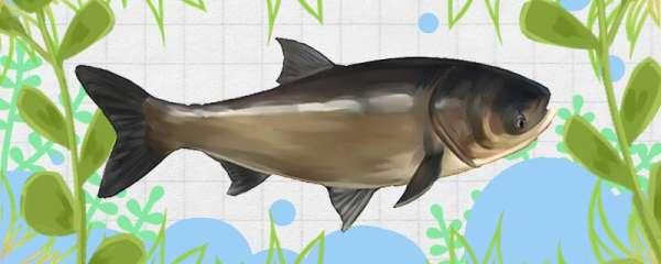 30斤以上的大鲢鳙可以钓到吗,如何钓
