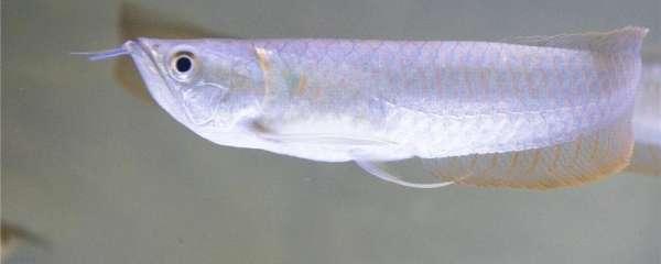 银龙鱼多长时间能长大,能长多大