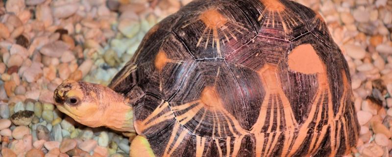 乌龟烂甲病怎么治疗,为什么龟会得烂甲病