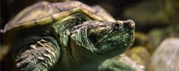 乌龟寿命多久,为什么乌龟活得久
